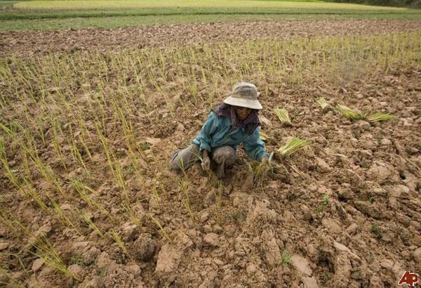 rice fields negros philstar